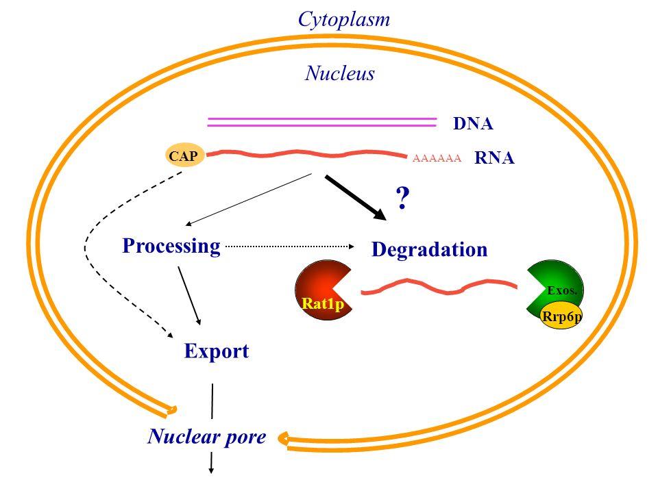 CAP Cytoplasm Nucleus DNA RNA Processing Export Degradation Rat1p Exos. Nuclear pore AAAAAA Rrp6p ?