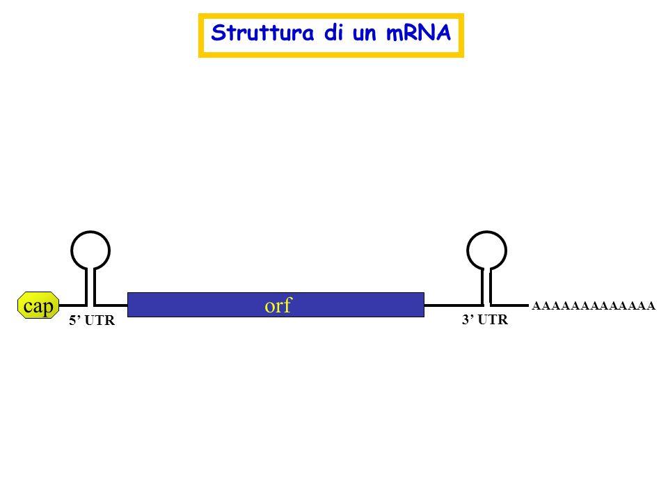 caporf AAAAAAAAAAAAA 5 UTR 3 UTR Struttura di un mRNA