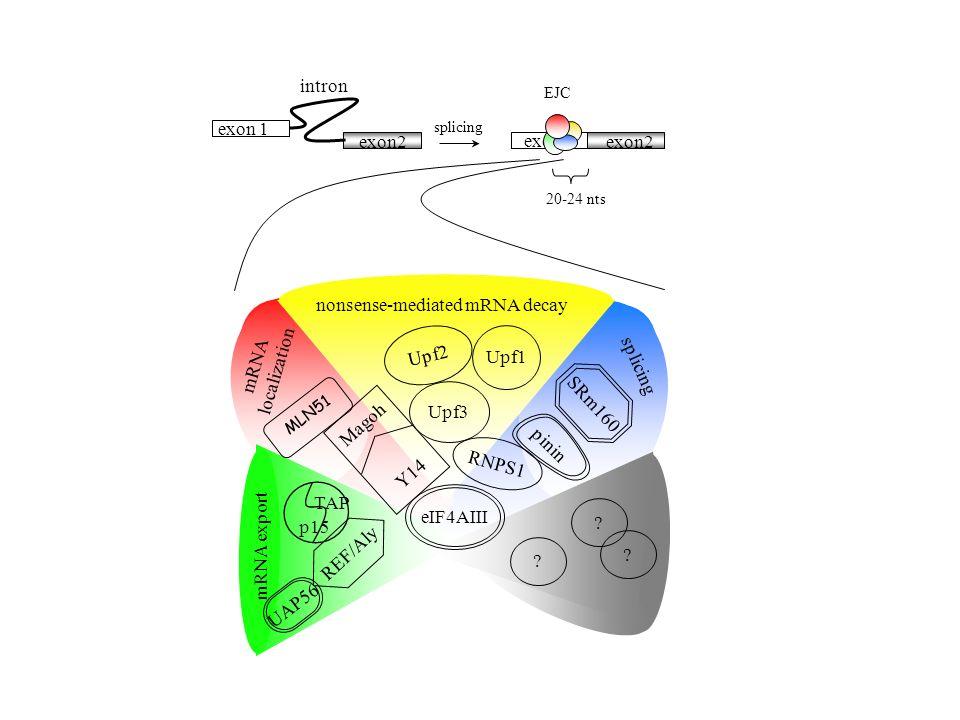 exon 1 20-24 nts EJC exon 1 exon2 splicing intron mRNA export nonsense-mediated mRNA decay mRNA localization REF/Aly Upf2 Upf3 RNPS1 Upf1 TAP p15 SRm1