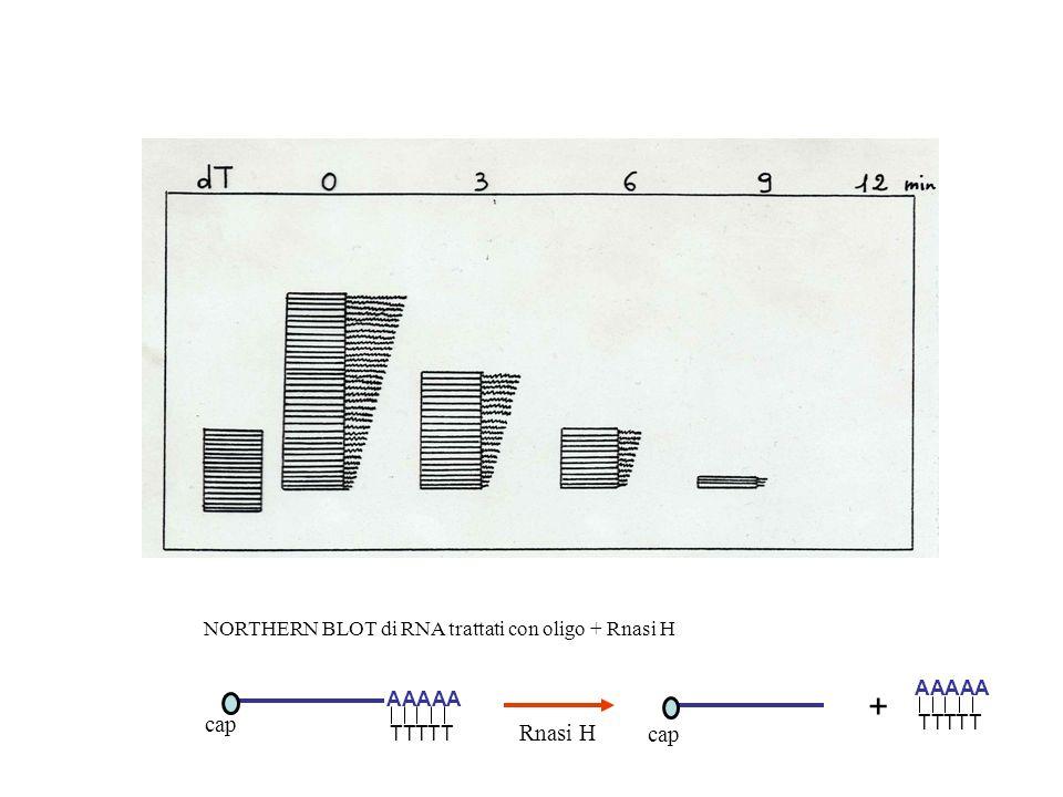 NORTHERN BLOT di RNA trattati con oligo + Rnasi H AAAAA TTTTT Rnasi H AAAAA TTTTT + cap