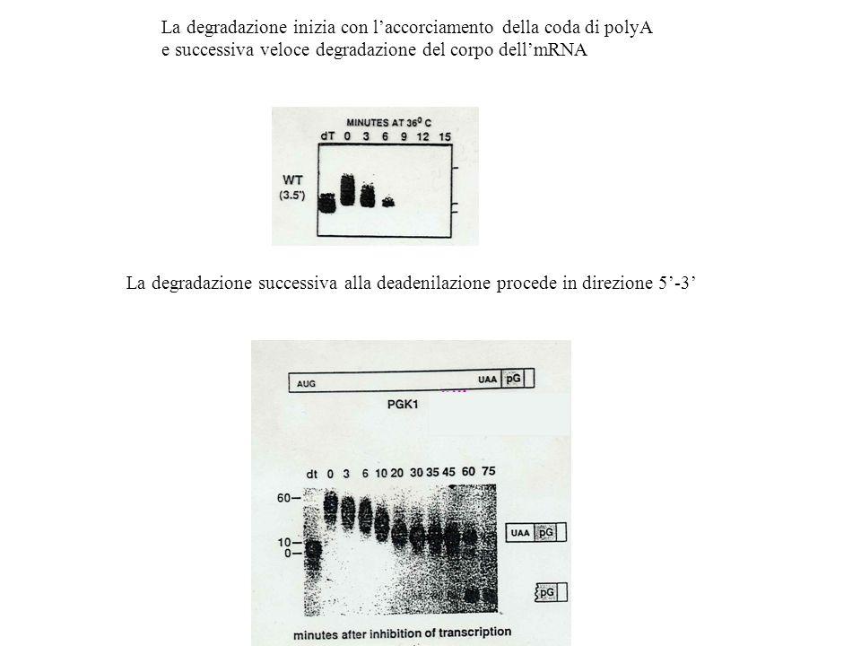 La degradazione inizia con laccorciamento della coda di polyA e successiva veloce degradazione del corpo dellmRNA La degradazione successiva alla dead