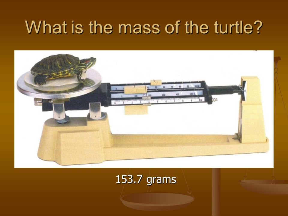 What is the mass of the turtle grams