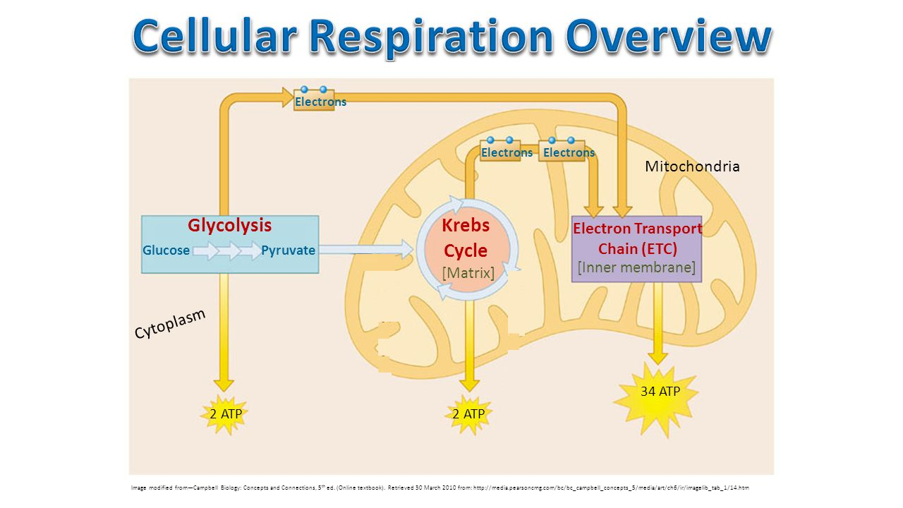 Cell Energy: Cellular Respiration - ppt video online download