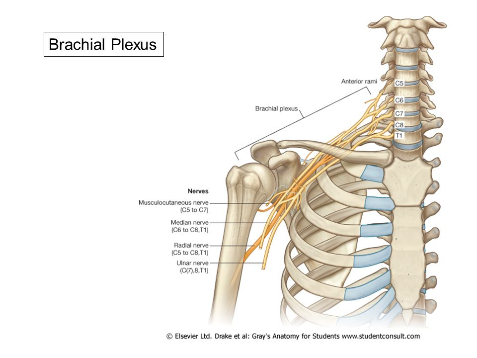 Tolle Applied Anatomy Of Brachial Plexus Galerie - Menschliche ...