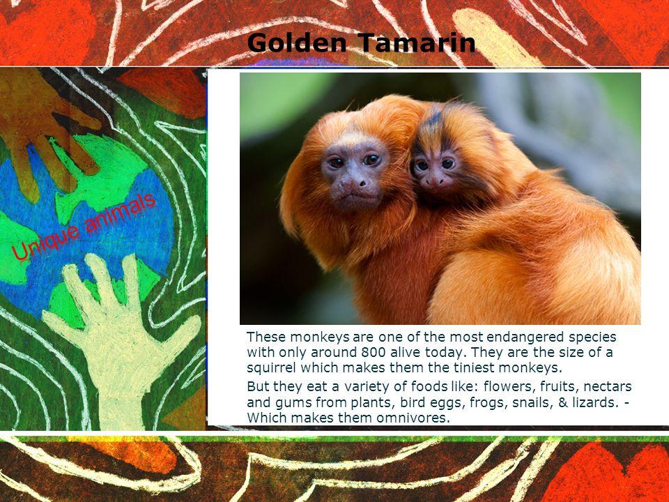 Golden lion tamarins habitat
