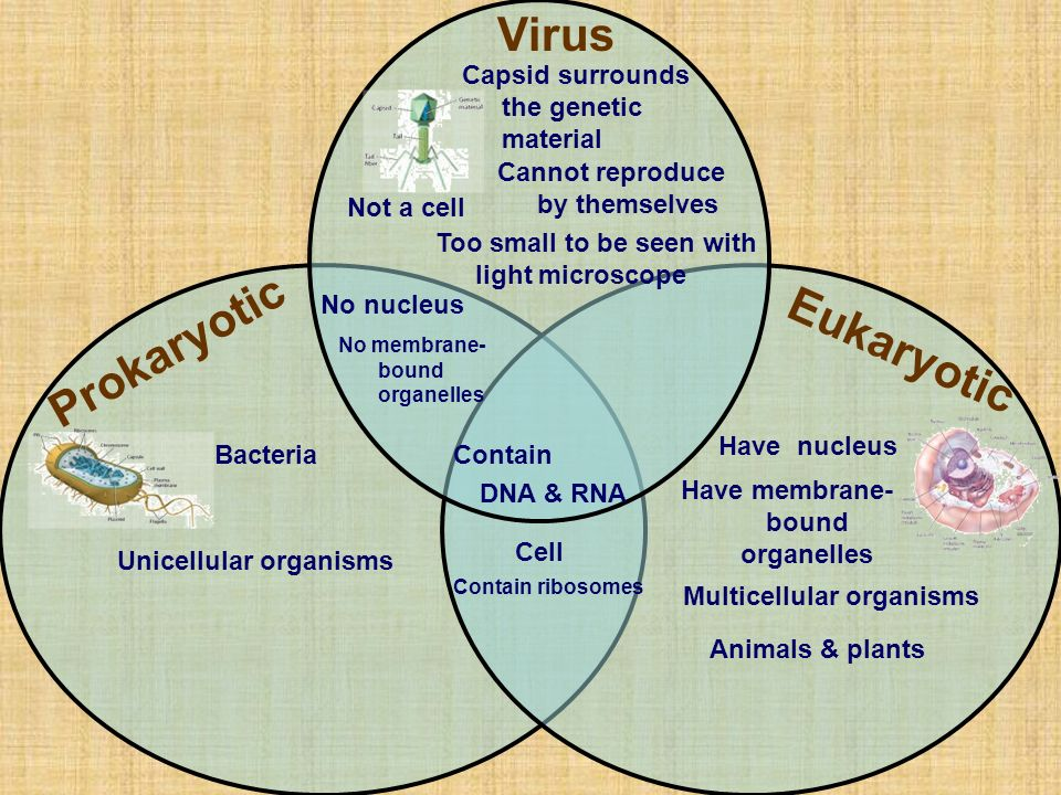 Is a virus a prokaryote or a eukaryote?