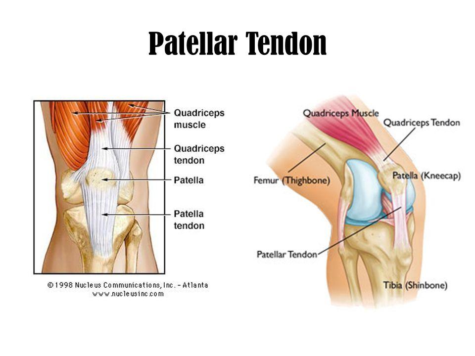 Fancy Quadriceps Tendon Anatomy Gallery - Anatomy Ideas - yunoki.info