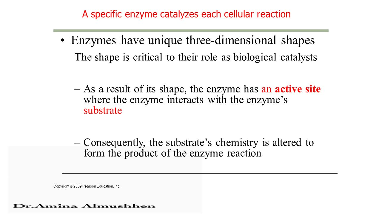 A specific enzyme catalyzes each cellular reaction Enzymes have unique three-dimensional shapes The shape is critical to their role as biological catalysts –As a result of its shape, the enzyme has an active site where the enzyme interacts with the enzyme's substrate –Consequently, the substrate's chemistry is altered to form the product of the enzyme reaction Copyright © 2009 Pearson Education, Inc.