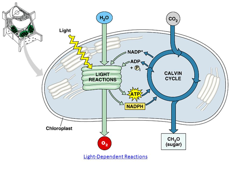 the role of light in photosynthesis biology essay Ap biology essay questions describe the light reactions of photosynthesis and  b describe the role of membranes in the synthesis of atp in either cellular.