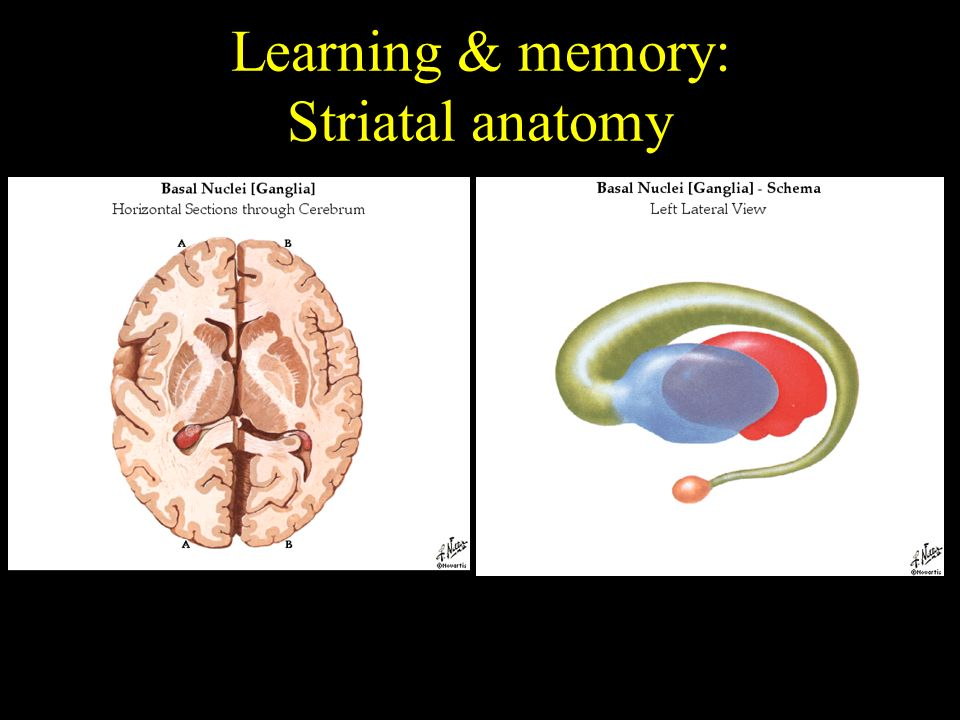 Learning Brain Anatomy Images - human body anatomy