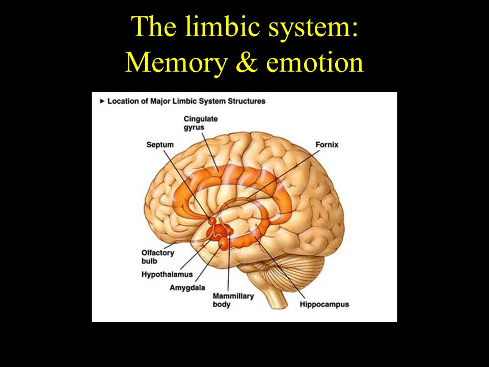 The limbic system: Memory & emotion