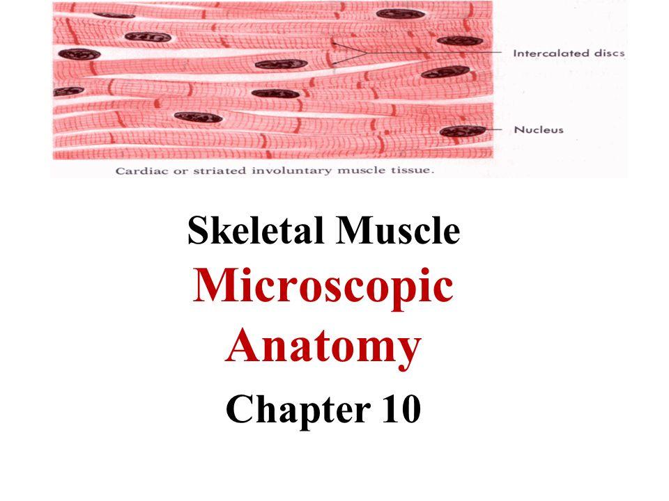 Skeletal Muscle Microscopic Anatomy Chapter 10 Microscopic Anatomy