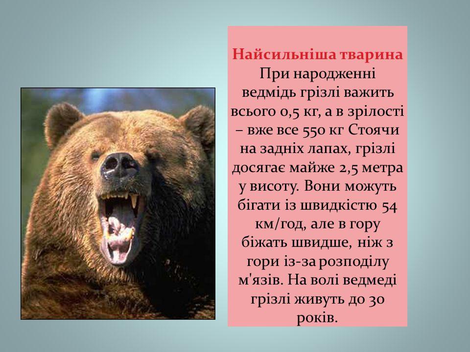 Найсильніша тварина При народженні ведмідь грізлі важить всього 0,5 кг, а в зрілості – вже все 550 кг Стоячи на задніх лапах, грізлі досягає майже 2,5 метра у висоту.