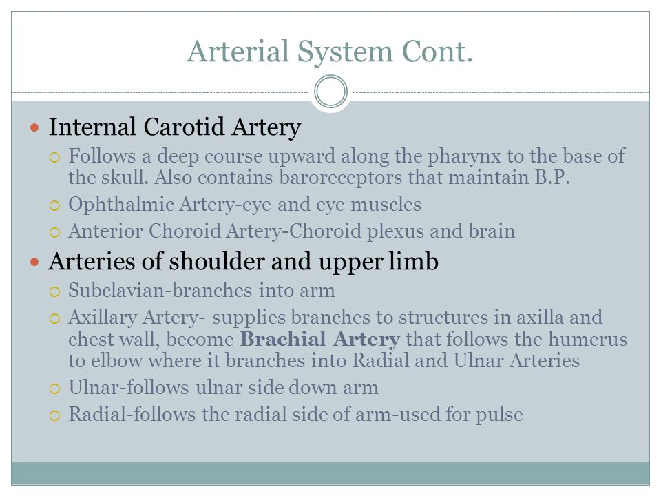 Arterial System Cont. Internal Carotid Artery  Follows a deep course upward along the pharynx to the base of the skull. Also contains baroreceptors t
