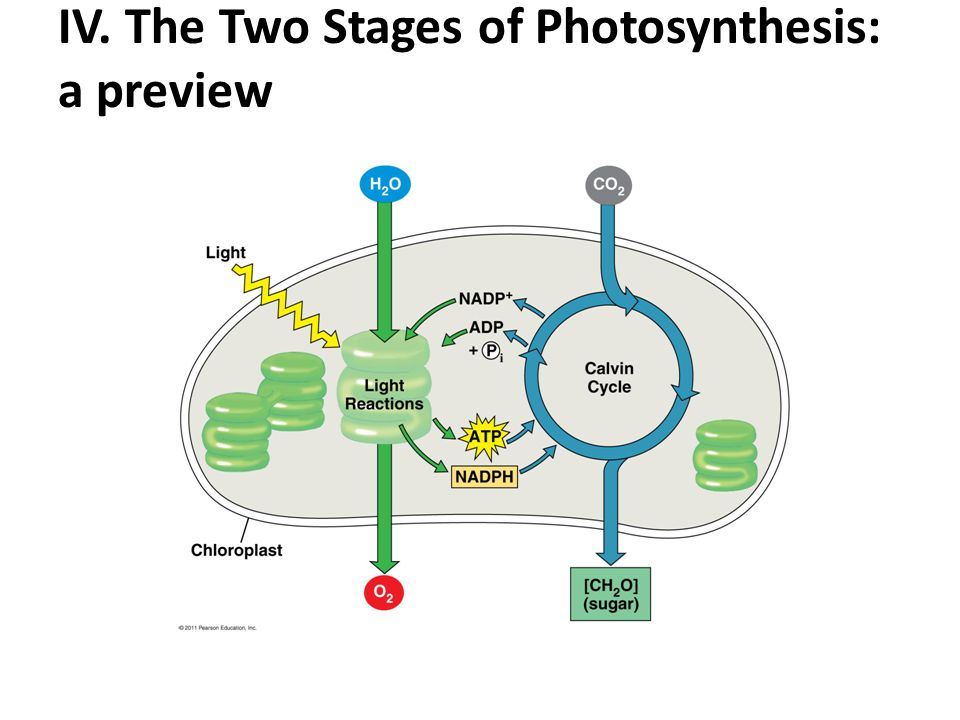 2 stages of photosynthesis Part a two stages of photosynthesis drag the labels onto the diagram to from biology 3001 at upr arecibo.