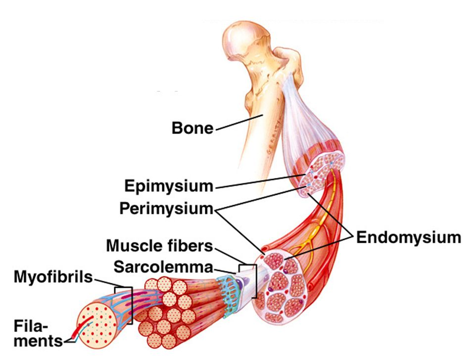 Muscular System The 3 Types Of Muscles Skeletal Muscle Structure