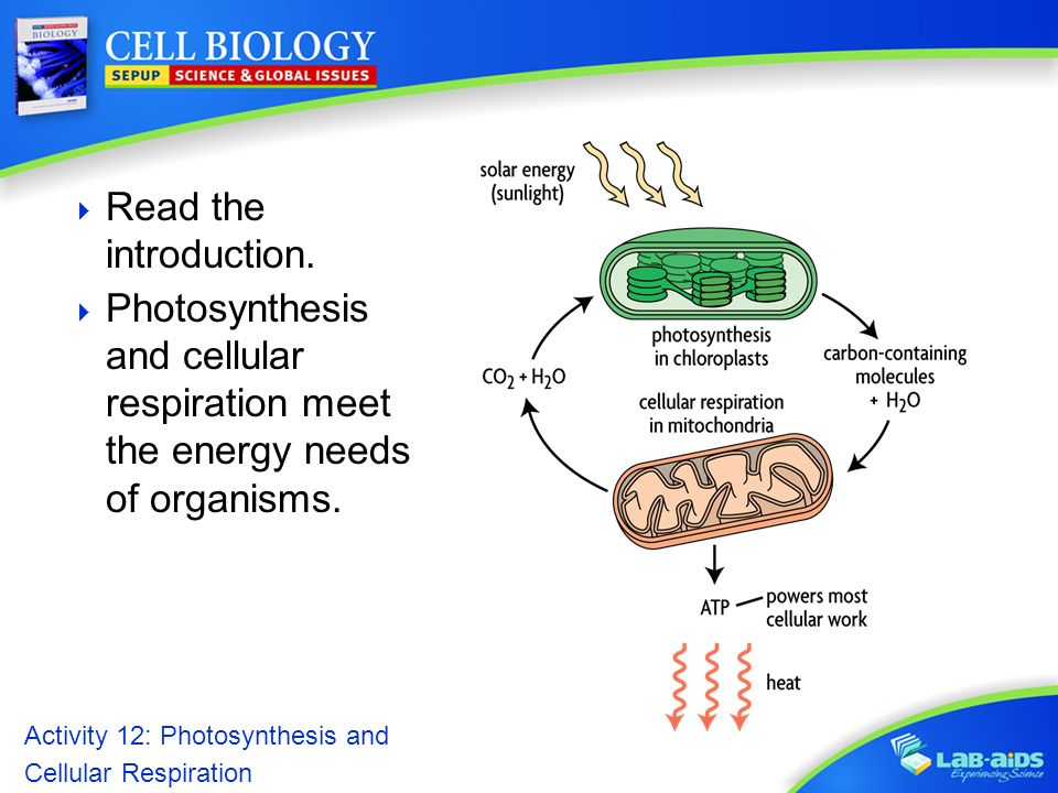photosynthesis and cellular respiration. activity 12, Presentation templates