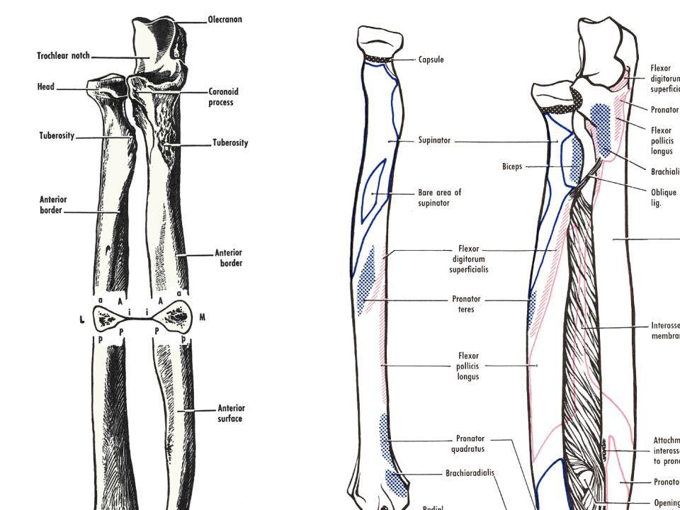 Lower Leg Anatomy Bone Tibia 2 Nd Longest Bone In Body Weight