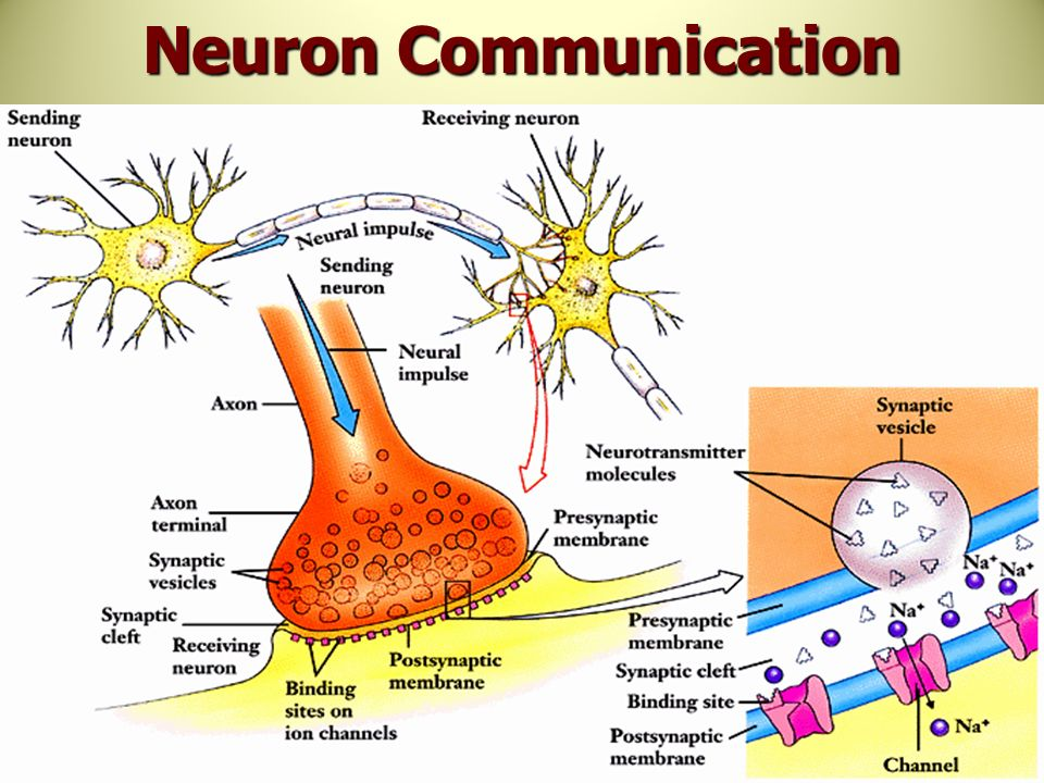 Unlabeled neuron diagram synaptic cleft wiring diagram services neuron communication vatoz atozdevelopment co rh vatoz atozdevelopment co synapse and synaptic cleft neuron axon synaptic bulb in a location ccuart Gallery