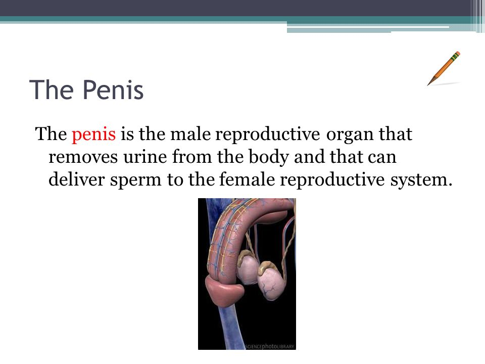 The Penis The penis is the male reproductive organ that removes urine from the body and that can deliver sperm to the female reproductive system.
