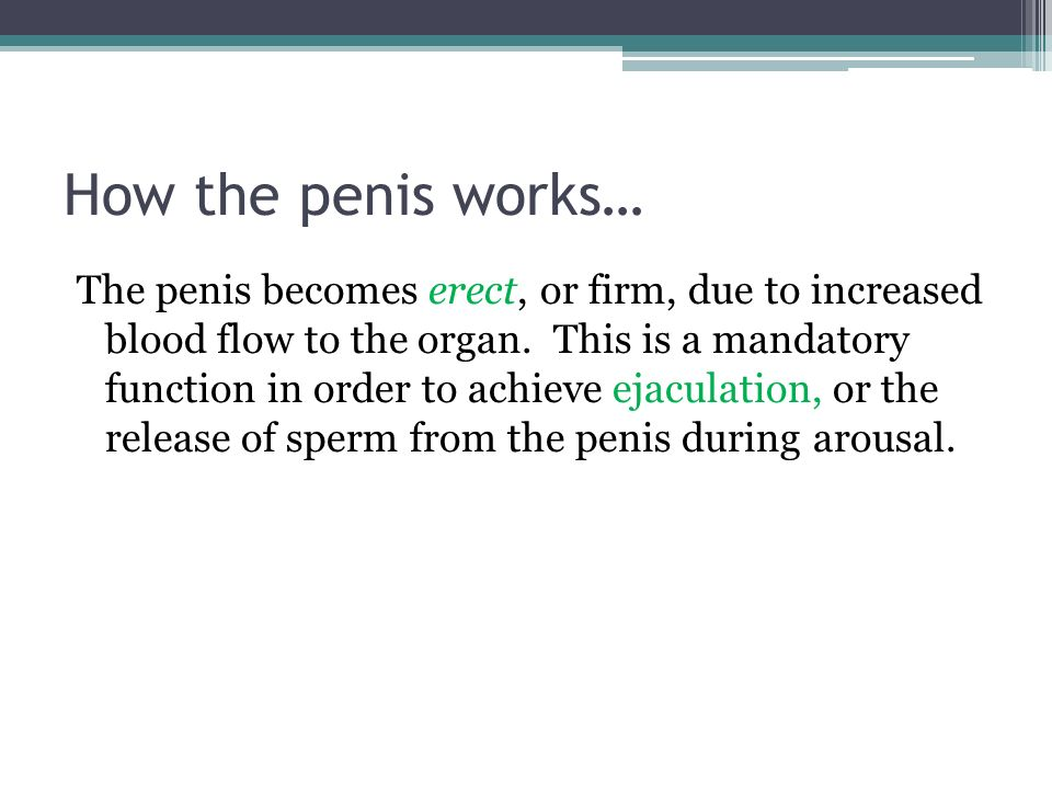 How the penis works… The penis becomes erect, or firm, due to increased blood flow to the organ.