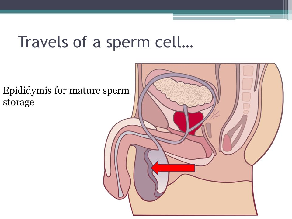 Travels of a sperm cell… Epididymis for mature sperm storage