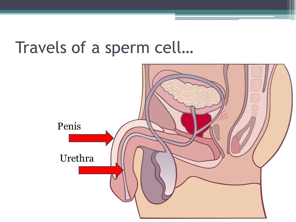Travels of a sperm cell… Penis Urethra