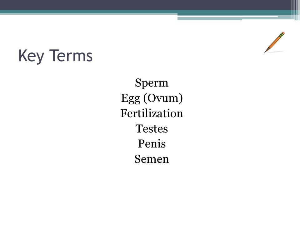 Key Terms Sperm Egg (Ovum) Fertilization Testes Penis Semen
