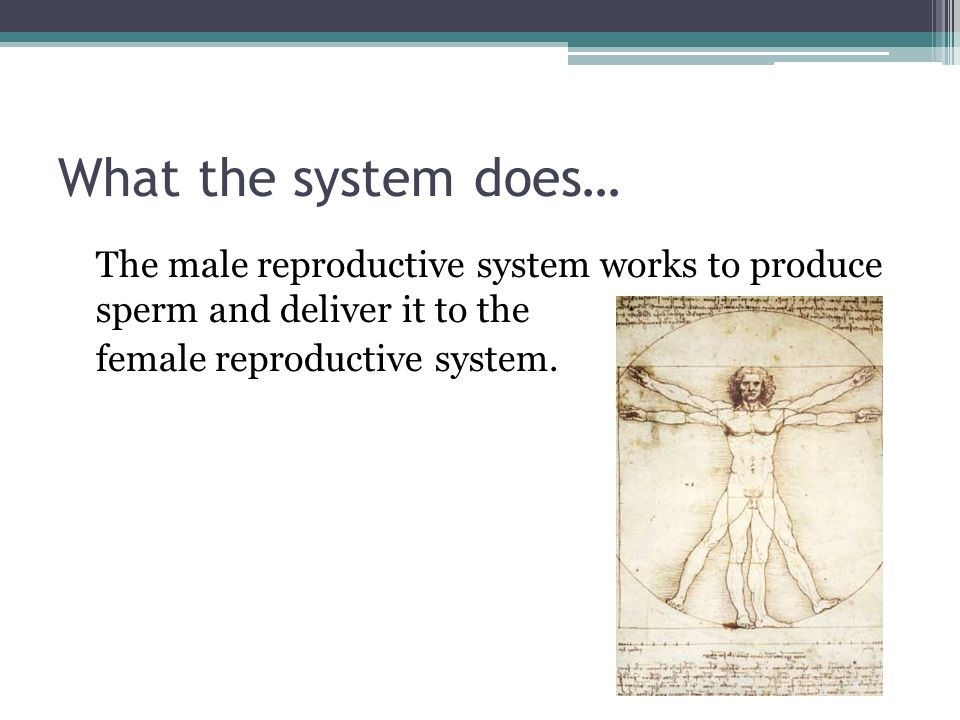 What the system does… The male reproductive system works to produce sperm and deliver it to the female reproductive system.