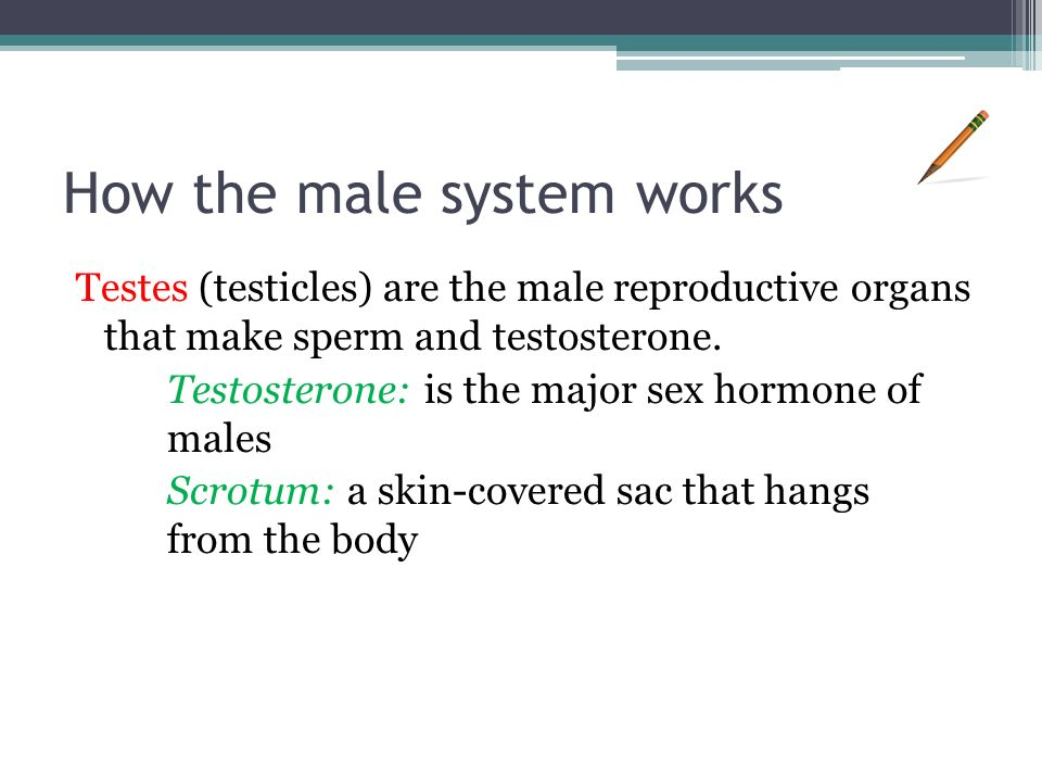 How the male system works Testes (testicles) are the male reproductive organs that make sperm and testosterone.