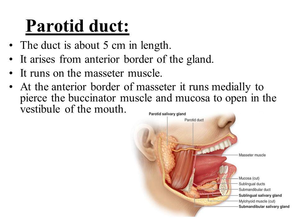 Parotid Gland Duct Anatomy Choice Image - human body anatomy