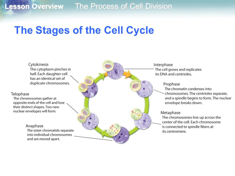 an overview of the stages of the cell cycle Hapter 10 101 cell cycle 102 m phase 103 significance of mitosis (chapter 3) identify plant species and stages at which mitosis is seen in haploid cells.