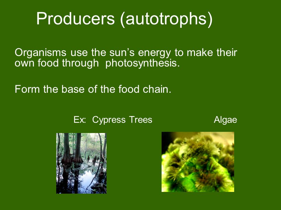 Producers (autotrophs) Organisms use the sun's energy to make their own food through photosynthesis.