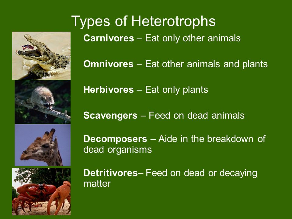 Types of Heterotrophs Carnivores – Eat only other animals Omnivores – Eat other animals and plants Herbivores – Eat only plants Scavengers – Feed on dead animals Decomposers – Aide in the breakdown of dead organisms Detritivores– Feed on dead or decaying matter