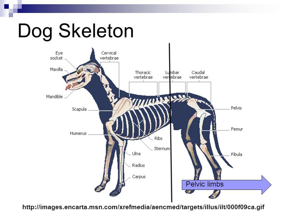 Dog Leg Bones - Goldenacresdogs.com