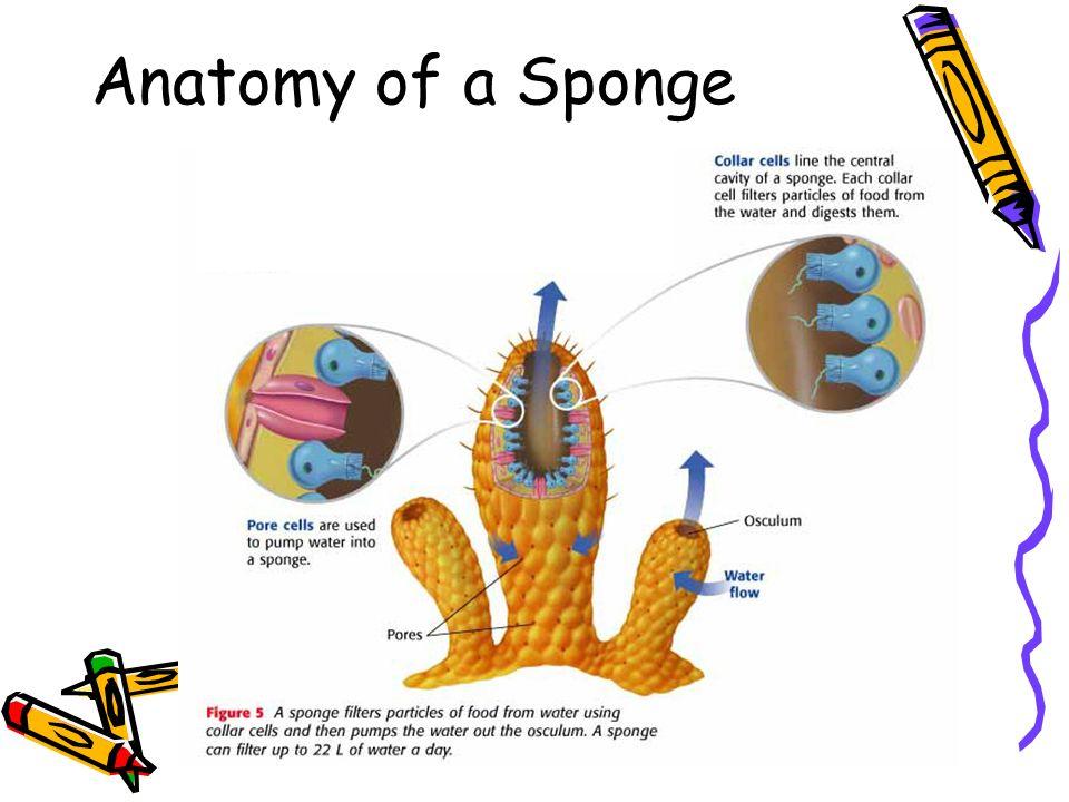 Awesome Sponge Anatomy Diagram Motif Anatomy Ideas Yunokifo