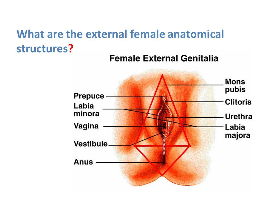Enchanting Female Anatomy External Festooning Human Anatomy Images