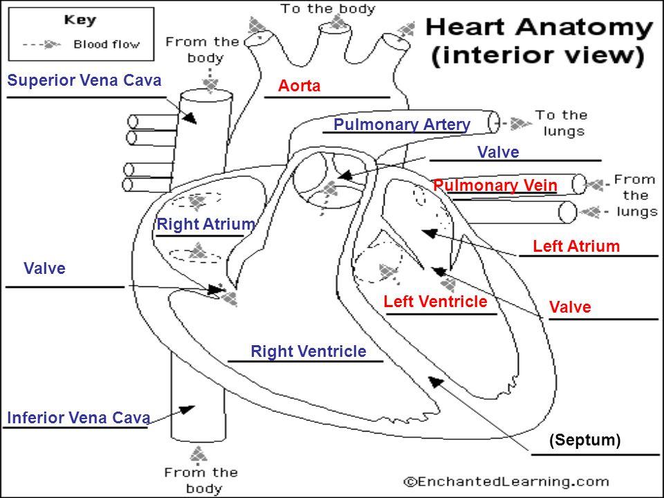 Colorful Heart Anatomy Interior View Diagram Ornament - Human ...