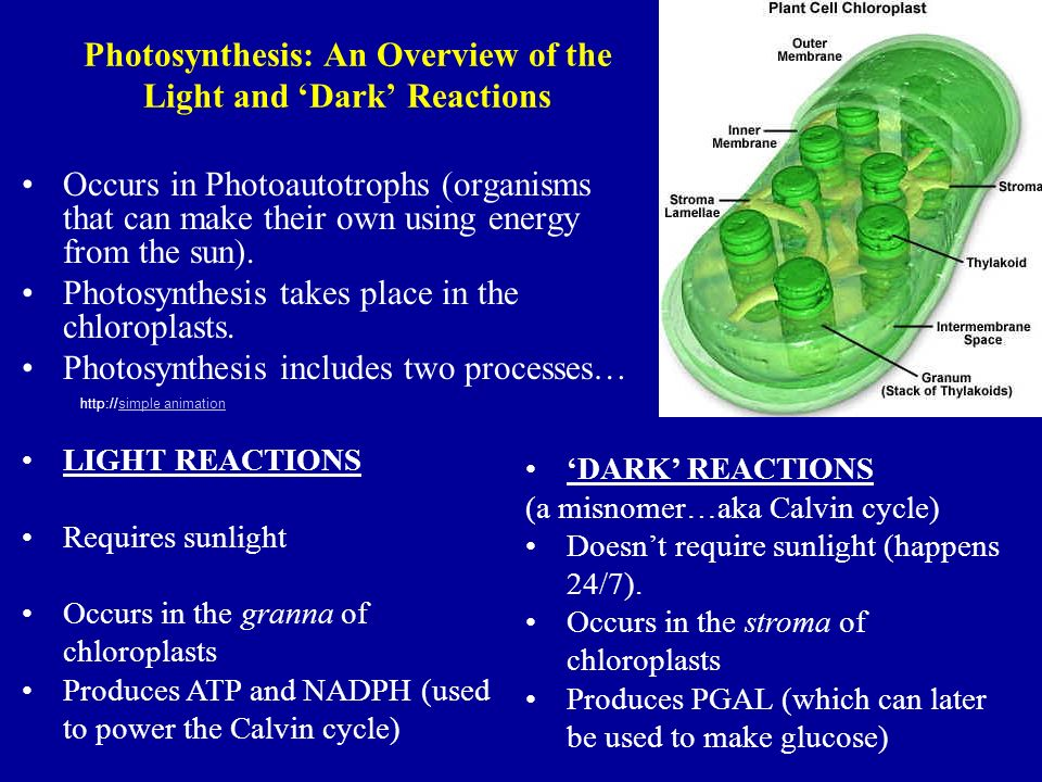 photosynthesis and inner chloroplast membranes