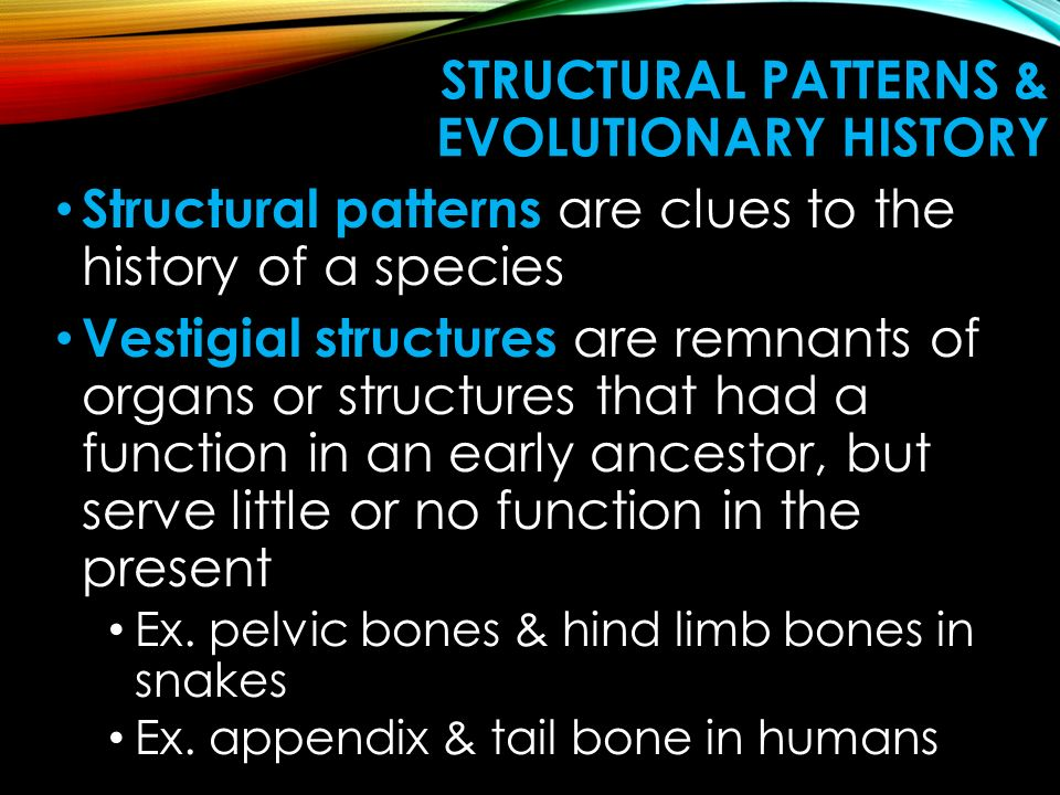 STRUCTURAL PATTERNS & EVOLUTIONARY HISTORY Structural patterns are clues to the history of a species Vestigial structures are remnants of organs or structures that had a function in an early ancestor, but serve little or no function in the present Ex.