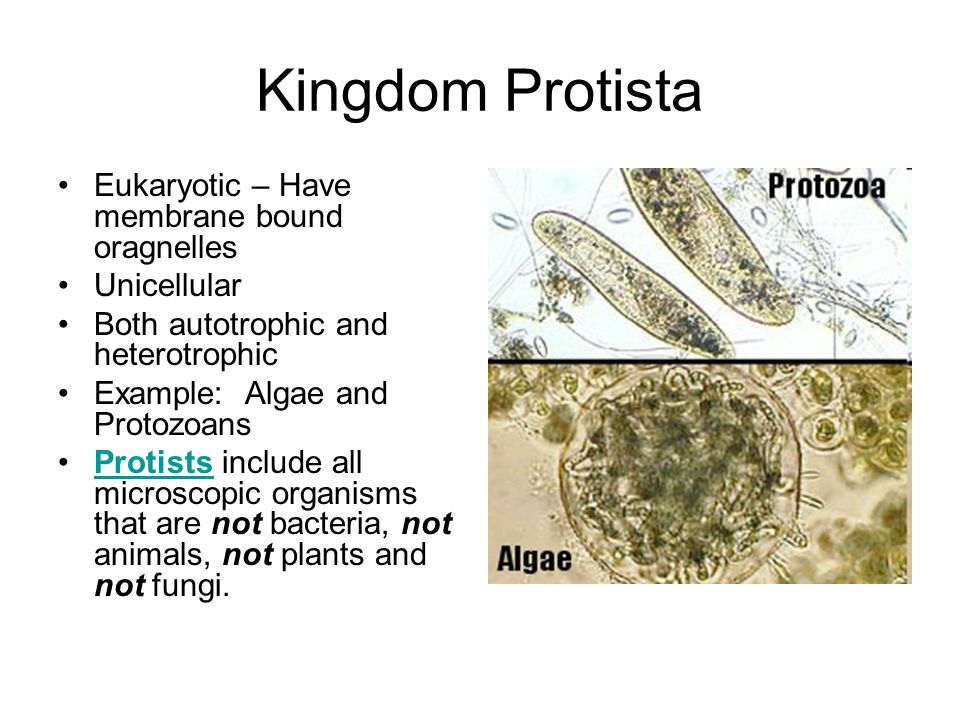 Kingdom Protista Eukaryotic – Have membrane bound oragnelles Unicellular Both autotrophic and heterotrophic Example: Algae and Protozoans Protists include all microscopic organisms that are not bacteria, not animals, not plants and not fungi.