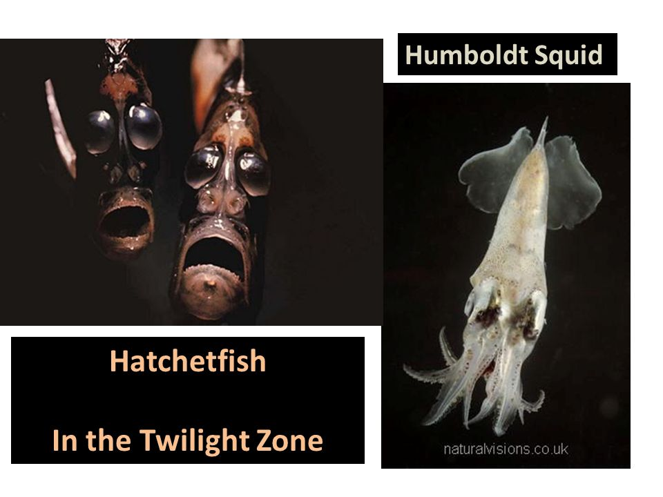 Hatchetfish In the Twilight Zone Humboldt Squid