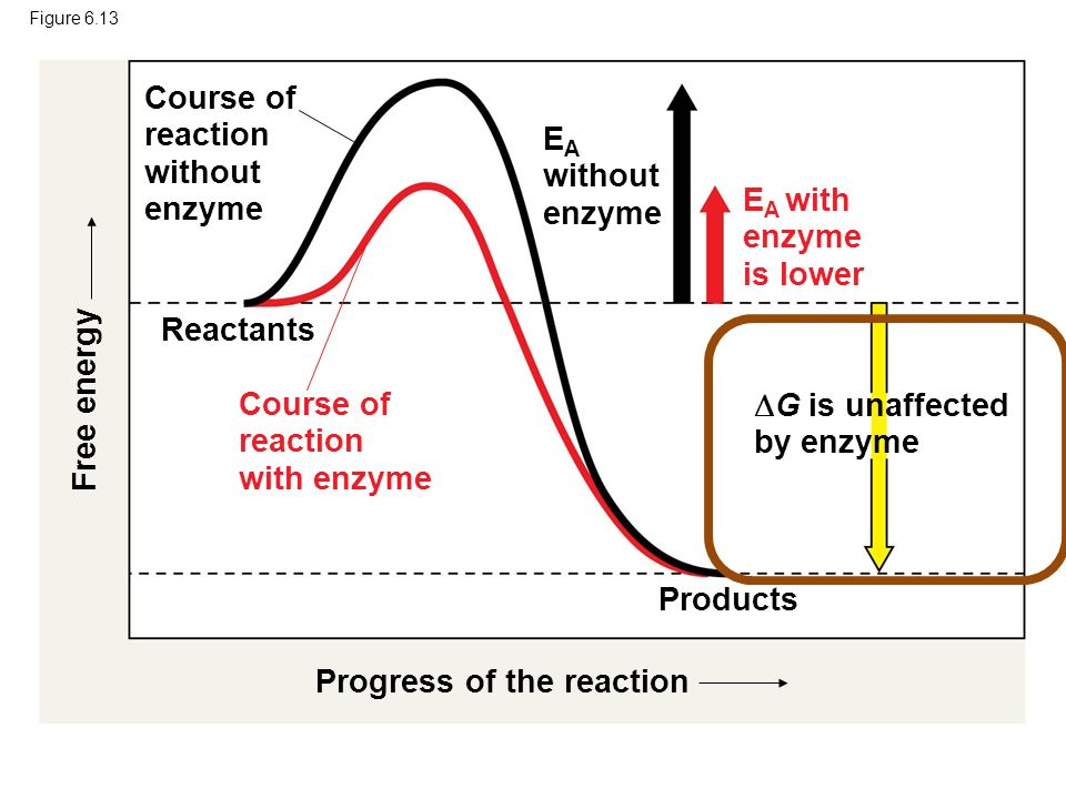 enzyme coursework as Enzymes and their functions what are enzymes enzymes are compounds that assist chemical reactions by increasing the rate at which they occur for example.