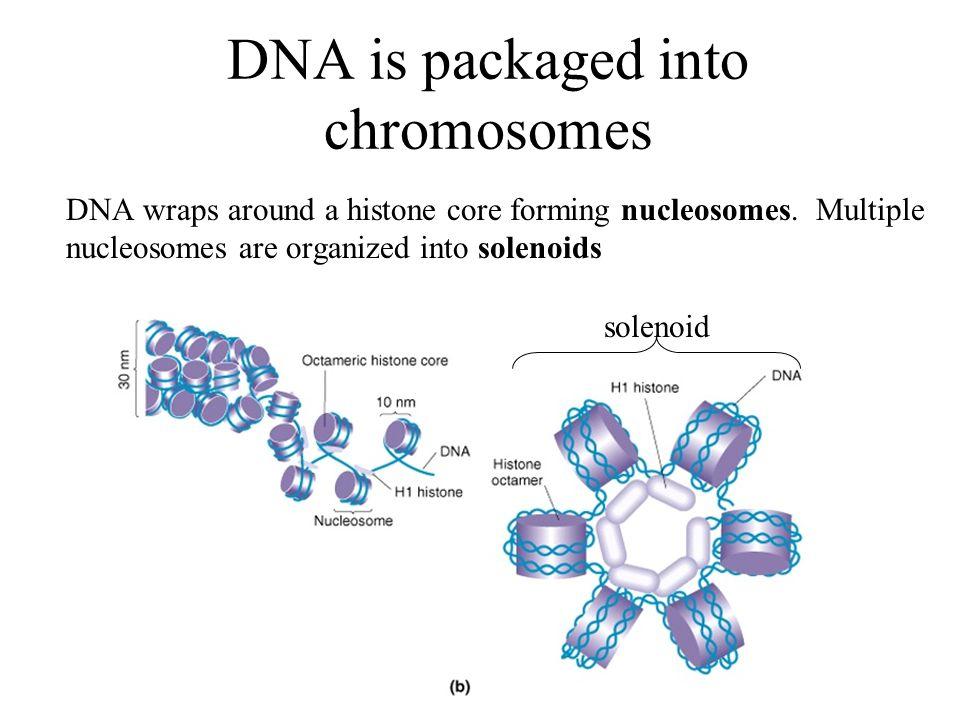 Solenoids dna