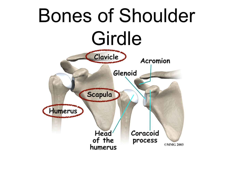 Shoulder anatomy bones