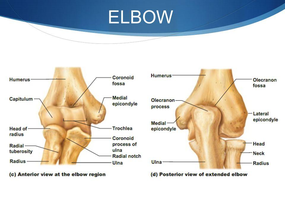 Diagram Elbow Forearm - Complete Wiring Diagrams •