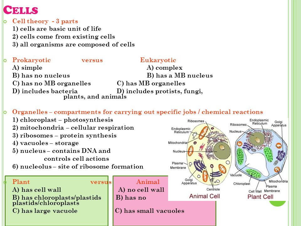 C ELLS Cell theory - 3 parts 1) cells are basic unit of life 2) cells come from existing cells 3) all organisms are composed of cells Prokaryotic versus Eukaryotic A) simple A) complex B) has no nucleus B) has a MB nucleus C) has no MB organelles C) has MB organelles D) includes bacteria D) includes protists, fungi, plants, and animals Organelles – compartments for carrying out specific jobs / chemical reactions 1) chloroplast – photosynthesis 2) mitochondria – cellular respiration 3) ribosomes – protein synthesis 4) vacuoles – storage 5) nucleus – contains DNA and controls cell actions 6) nucleolus – site of ribosome formation Plant versus Animal A) has cell wall A) no cell wall B) has chloroplasts/plastids B) has no plastids/chloroplasts C) has large vacuole C) has small vacuoles