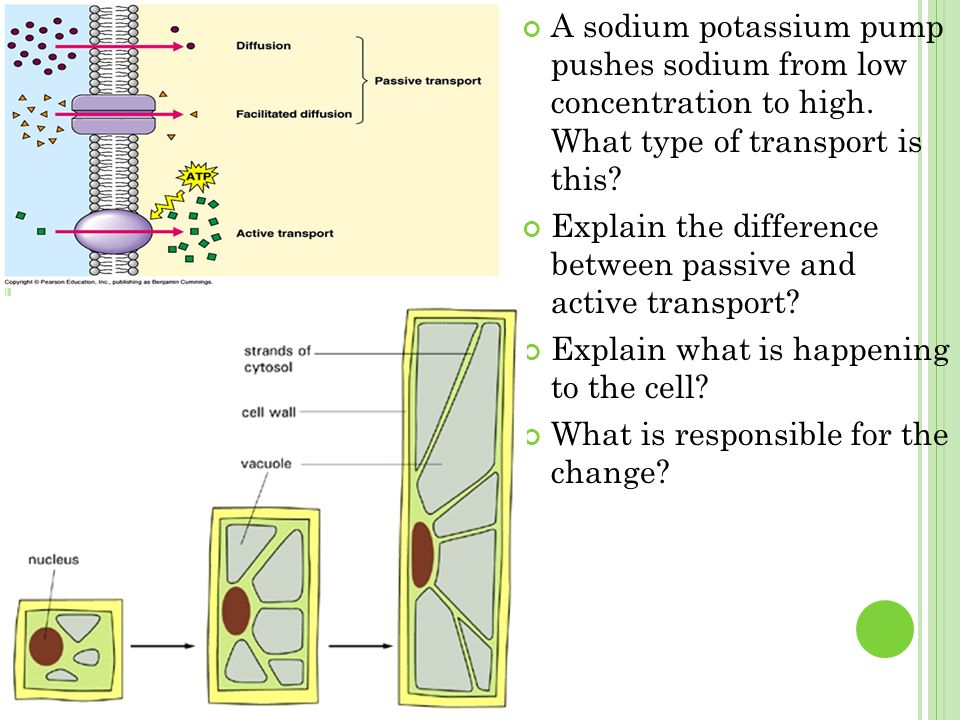 A sodium potassium pump pushes sodium from low concentration to high.