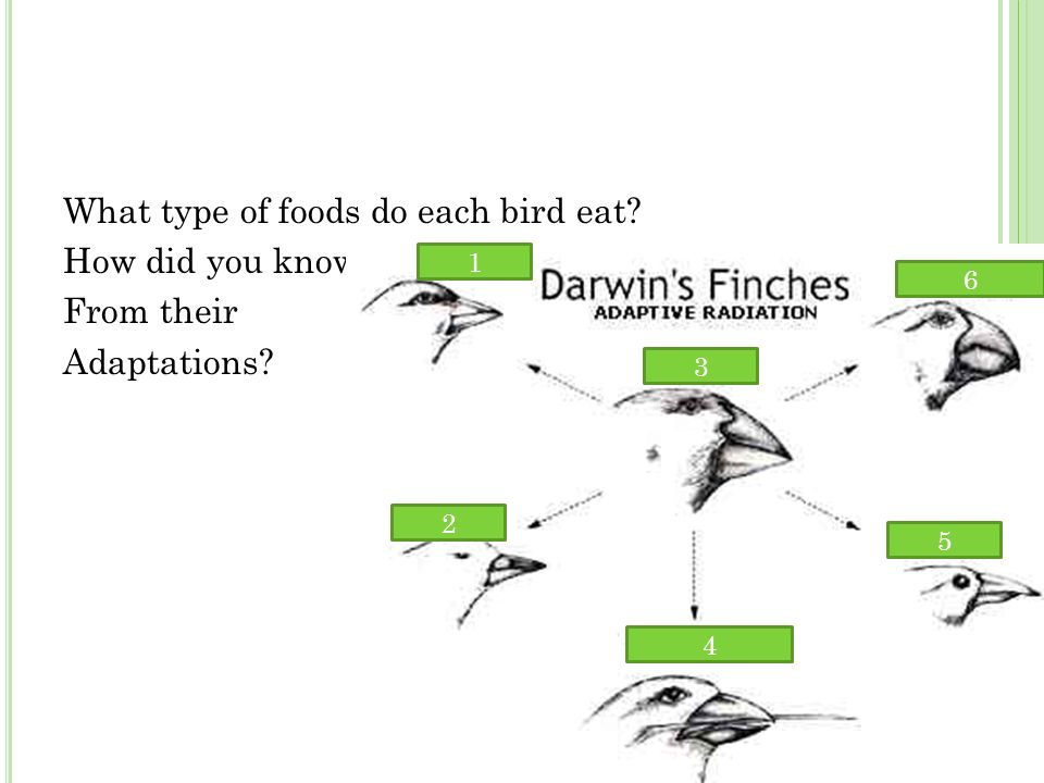 What type of foods do each bird eat How did you know From their Adaptations 1 2 3 4 5 6