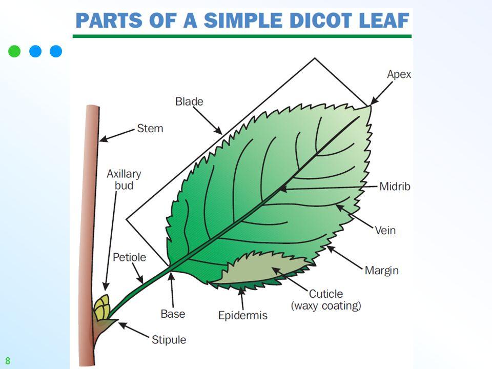 Leaf anatomy diagram
